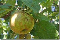 Rundwanderweg R8 - Apfel