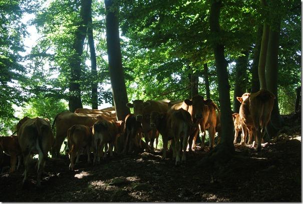 Rundwanderweg R8 - Kühe im Wald
