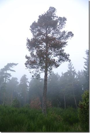 Traumpfad Heidehimmel - Kiefer im Nebel