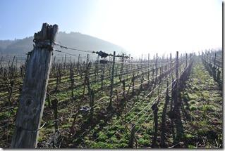 Moselsteig Etappe 18 - Weinstöcke bei Bruttig Fankel