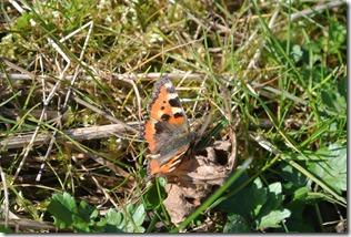Moselsteig Etappe 18 - Schmetterling