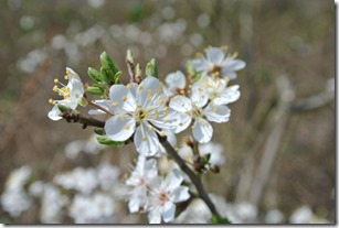 Moselsteig Etappe 19.1 - Erste Kirschblüten