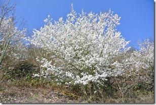 Moselsteig Etappe 19.1 - Kirschbaum
