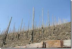 Moselsteig Etappe 19.1 - Weinreben