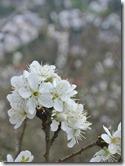 Alter Weinbergweg Bad Breisig - Blüten