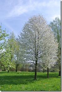 Rheinsteig Vallendar-Ehrenbereitstein - blühende Bäume