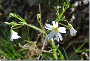 Moselsteig Etappe 19.2 - Weiße Blüten