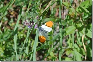Moselsteig Etappe 19.2 - Zum Abschied Schmetterlinge