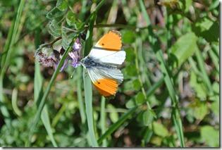 Moselsteig Etappe 19.2 - Schmetterling am Wegesrand