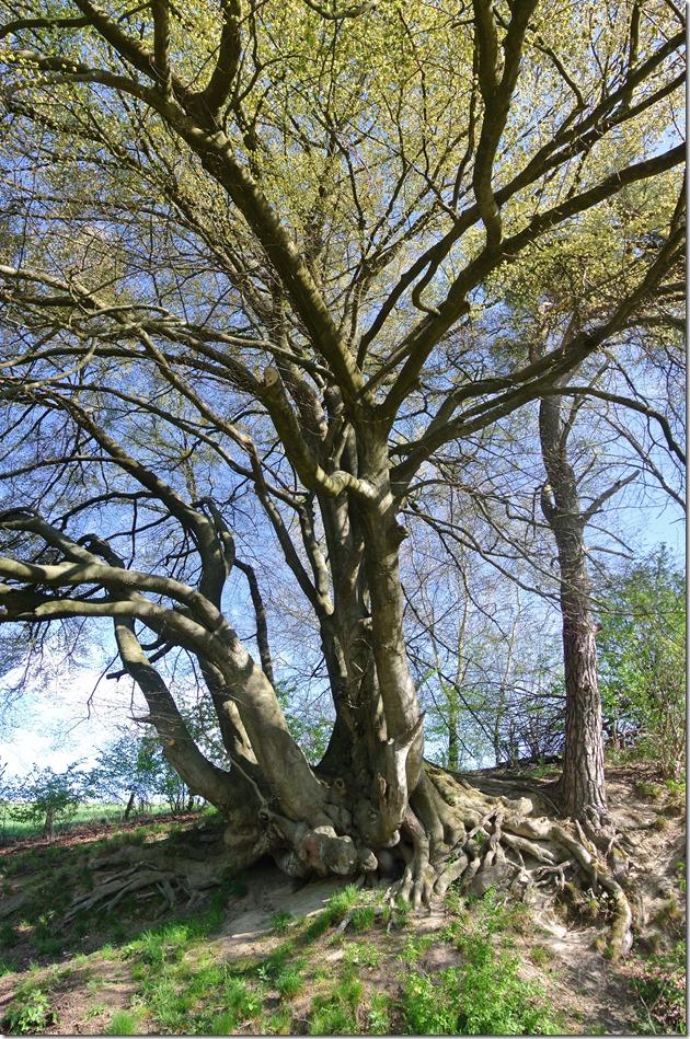 Wäller Tour Iserbachschleife - beeindruckender Baum