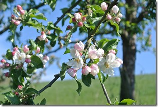 Wäller Tour Iserbachschleife - Baumblüten