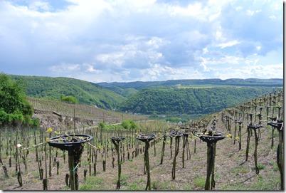 Moselsteig Etappe 23 - Weinreben