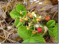 Moselsteig Etappe Reil - Zell (Mosel) - Erdbeeren am Wegesrand