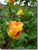 Moselsteig Etappe Reil - Zell (Mosel) - Rose