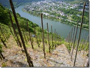 Moselsteig Traben-Trarbach - Reil - Blick durch Weinstöcke ins Tal