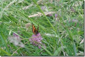Rheinsteig Sayn - Vallendar - Schmetterling