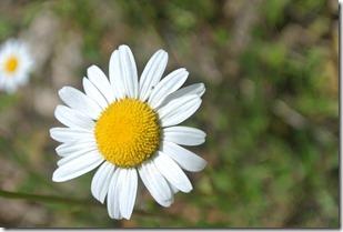 Traumpfad Waldschluchtenweg - Blumen am Wegesrand