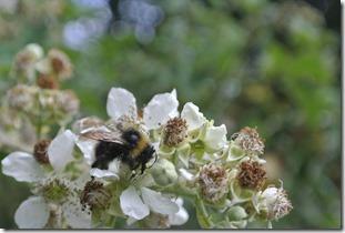 Moselsteig Treis-Karden - Moselkern - Biene bei der Arbeit