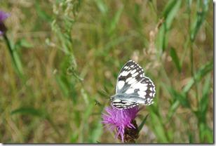 Moselsteig Treis-Karden - Moselkern - Schmetterlinge