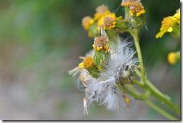 Moselsteig Treis-Karden - Moselkern - Blüten am Wegesrand