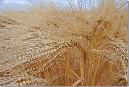 Moselsteig Treis-Karden - Moselkern - ... das volle Korn