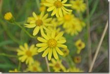 Fürstenweg - Blüten in der Wiese