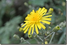 Fürstenweg - gelbe Blüte
