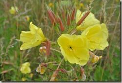 Moselsteig Schweich - Mehring - Blumen am Wegesrand
