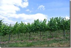 Moselsteig Schweich - Mehring - Wein, Wein, Wein