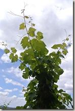 Moselsteig Schweich - Mehring - Wein & Himmel