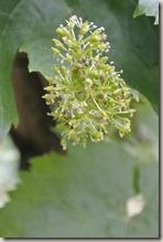 Moselsteig Schweich - Mehring - Weinbeeren (noch ganz klein)