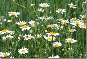 Moselsteig Schweich - Mehring - Wiesen & Blüten