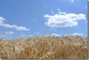 Moselsteig Schweich - Mehring - Weizen & Himmel