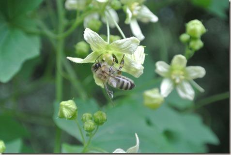 Traumpfad Vier-Berge-Tour - Biene bei der Arbeit