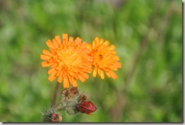 Moselsteig Felsen. Fässer. Fachwerk - orange Blüte