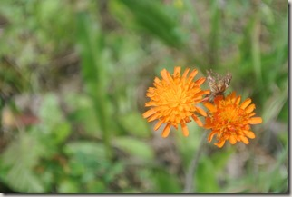 Moselsteig Felsen. Fässer. Fachwerk - Blume (orange)