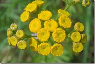 Moselsteig Felsen. Fässer. Fachwerk - Blume (gelb)