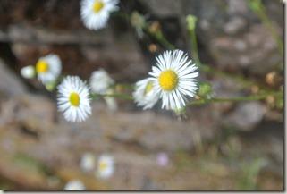 Moselsteig Felsen. Fässer. Fachwerk - Blume (weiß)