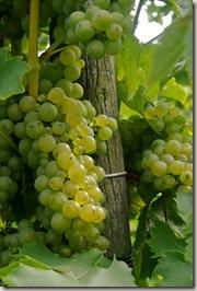 Moselsteig Traben-Trarbach - Ürzig - Weinreben bei Traben-Trarbach