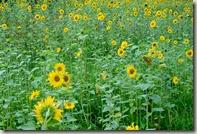 Moselsteig Traben-Trarbach - Ürzig - Sonnenblumenfeld