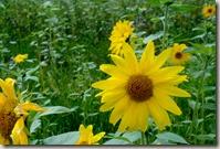 Moselsteig Traben-Trarbach - Ürzig - Sonnenblumen, etwas größer