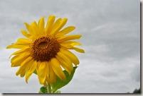 Moselsteig Traben-Trarbach - Ürzig - Sonnenblumen ganz groß