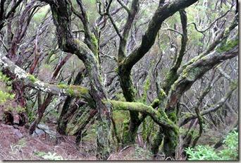 Madeira Wanderung - 25 Quellen - Knorrige Bäume