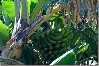 Madeira Wanderung - Bananen