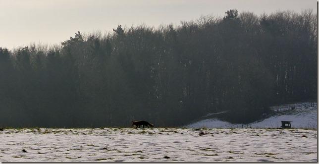 Traumschleife Lücknerweg - ein Fuchs