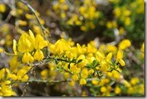 Bürresheimer Weg - noch mehr Gelb
