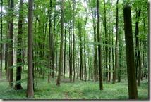 Bürresheimer Weg - Frühlingswald