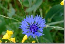 Wandern in Brohltal (Weibern) -  Kornblume