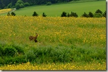 Wandern in Brohltal (Weibern) -  Reh mit Kitz