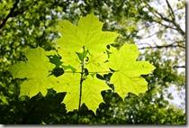 WällerTour Bärenkopp - Blätter im Sonnenlicht